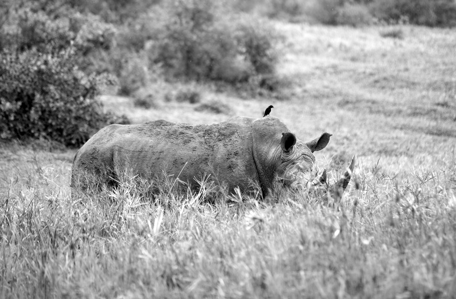 Rhino at Hluhluwe iMfolozi Game Reserve